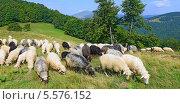 Купить «Овцы в летнем пейзаже», фото № 5576152, снято 30 июля 2013 г. (c) Швадчак Василий / Фотобанк Лори