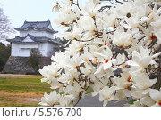 Купить «Белые магнолии весной», фото № 5576700, снято 23 марта 2008 г. (c) Serg Zastavkin / Фотобанк Лори