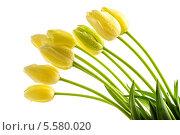 желтые тюльпаны с длинными стеблями. Стоковое фото, фотограф CandyBox Images / Фотобанк Лори