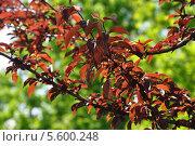 Распустившиеся красные листья на фоне зеленых. Стоковое фото, фотограф Валентина Белоусова / Фотобанк Лори