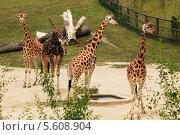 Купить «Жирафы в зоопарке», фото № 5608904, снято 17 июня 2012 г. (c) Федюнин Александр / Фотобанк Лори