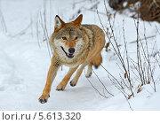 Купить «Волк бежит по снегу», фото № 5613320, снято 3 февраля 2014 г. (c) Эдуард Кислинский / Фотобанк Лори