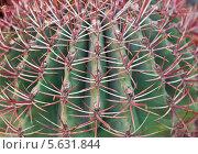 Купить «Колючки кактуса макро», фото № 5631844, снято 21 февраля 2014 г. (c) Наталья Волкова / Фотобанк Лори