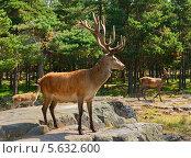 Купить «Красавец Благородный олень (Cervus elaphus) в лесу», фото № 5632600, снято 24 июля 2013 г. (c) Валерия Попова / Фотобанк Лори