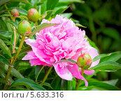 Розовый пион. Стоковое фото, фотограф Opra / Фотобанк Лори