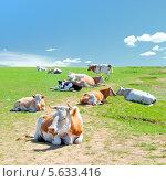 Коровы отдыхают на зеленом лугу. Стоковое фото, фотограф Opra / Фотобанк Лори