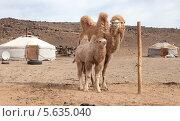Купить «Двугорбый верблюд с детенышем», фото № 5635040, снято 20 мая 2013 г. (c) hunta / Фотобанк Лори