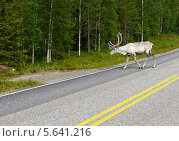 Купить «Белый северный олень на дороге», фото № 5641216, снято 12 июля 2013 г. (c) Валерия Попова / Фотобанк Лори