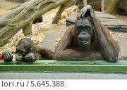 Купить «За стеклом. Орангутанги в Московском зоопарке», фото № 5645388, снято 26 февраля 2014 г. (c) Валерия Попова / Фотобанк Лори