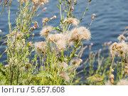 Купить «Бодяк полевой, или розовый́ осот (лат. Cirsium arvense)», эксклюзивное фото № 5657608, снято 14 июля 2013 г. (c) Александр Щепин / Фотобанк Лори