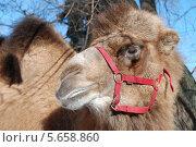 Купить «Верблюд на ВВЦ солнечным днем», эксклюзивное фото № 5658860, снято 8 марта 2011 г. (c) lana1501 / Фотобанк Лори