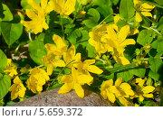 Купить «Луговой чай (Lysimachia nummularia)», фото № 5659372, снято 20 июня 2013 г. (c) Зобков Георгий / Фотобанк Лори