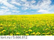 Купить «Одуванчики цветут, жёлтые цветы в поле на фоне голубого неба», фото № 5666812, снято 28 октября 2009 г. (c) Инара Прусакова / Фотобанк Лори