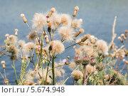 Купить «Бодяк полевой, или розовый́ осот (лат. Cirsium arvense)», эксклюзивное фото № 5674948, снято 14 июля 2013 г. (c) Александр Щепин / Фотобанк Лори