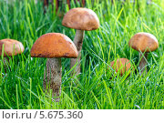 Грибы, растущие в траве. Стоковое фото, агентство BE&W Photo / Фотобанк Лори