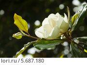 Купить «Цветущая магнолия крупноцветковая. Magnolia Grandiflora», фото № 5687180, снято 24 июня 2013 г. (c) Яков Филимонов / Фотобанк Лори