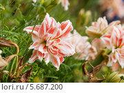 Купить «Амариллис в саду», фото № 5687200, снято 24 июня 2013 г. (c) Яков Филимонов / Фотобанк Лори