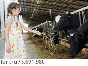 Девочка протягивает сено коровам на ферме. Стоковое фото, фотограф Losevsky Pavel / Фотобанк Лори