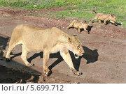 Львица и львята, самка льва с детенышами в Национальном парке Танзании, кратер вулкана Нгоронгоро (2008 год). Стоковое фото, фотограф Владимир Григорьев / Фотобанк Лори