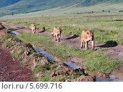 """Дикие африканские львицы с детенышами идут вдоль дороги в Национальном парке """"Нгоронгоро"""", Танзания (2008 год). Стоковое фото, фотограф Владимир Григорьев / Фотобанк Лори"""