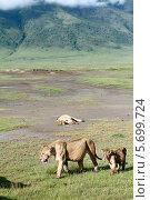 Львицы и львенок в национальном парке Нгоронгоро, Восточная Африка, Танзания, кратер вулкана (2008 год). Стоковое фото, фотограф Владимир Григорьев / Фотобанк Лори