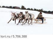 Купить «Соревнование оленьих упряжек на празднике охотников и оленеводов», фото № 5706388, снято 14 марта 2014 г. (c) Владимир Мельников / Фотобанк Лори