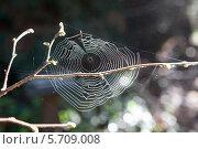 Паутина на ветках с весенними почками. Стоковое фото, фотограф Гуляева Юлия / Фотобанк Лори