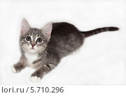 Серый котенок. Стоковое фото, фотограф Виктор Шушурин / Фотобанк Лори