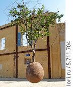 Купить «Подвешенное апельсиновое дерево. Яффо, Израиль», фото № 5711704, снято 4 октября 2012 г. (c) Ирина Борсученко / Фотобанк Лори