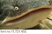 Сом в аквариуме. Стоковое видео, видеограф Anhelina Tarasenko / Фотобанк Лори