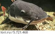 Купить «Большой сом в аквариуме», видеоролик № 5721468, снято 18 марта 2014 г. (c) Anhelina Tarasenko / Фотобанк Лори