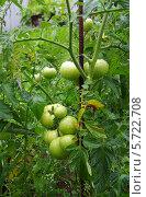 Купить «Томат. Растение в открытом грунте», фото № 5722708, снято 21 июля 2013 г. (c) Ann Perova / Фотобанк Лори