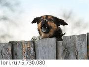 Купить «Собака лает над забором», фото № 5730080, снято 8 марта 2013 г. (c) Анатолий Матвейчук / Фотобанк Лори