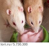 Купить «Две домашние крысы едят йогурт из миски», фото № 5730300, снято 26 августа 2008 г. (c) Argument / Фотобанк Лори