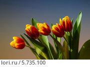 Купить «Букет тюльпанов», фото № 5735100, снято 7 марта 2014 г. (c) Алексей Назаров / Фотобанк Лори
