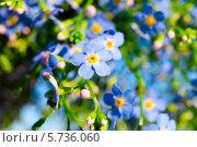 Цветы незабудки. Стоковое фото, фотограф Андрей Радченко / Фотобанк Лори
