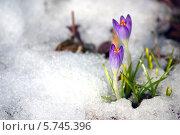 Купить «Крокусы», фото № 5745396, снято 22 марта 2014 г. (c) Natalya Sidorova / Фотобанк Лори