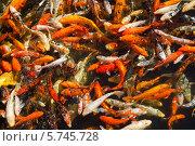 Множество рыб, плавающих в пруду. Стоковое фото, фотограф Светлана Пальцева / Фотобанк Лори