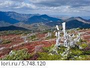 Купить «Кедровый стланик на вершине горы, покрытый первым снегом», фото № 5748120, снято 1 октября 2011 г. (c) Владимир Серебрянский / Фотобанк Лори