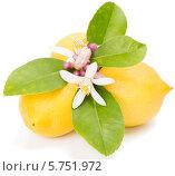 Купить «Цветы лимона и свежие лимоны на белом фоне», фото № 5751972, снято 25 марта 2014 г. (c) Ирина Денисова / Фотобанк Лори