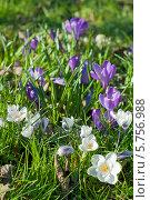 Купить «Первоцветы. Белые и синие крокусы на фоне травы», эксклюзивное фото № 5756988, снято 29 марта 2014 г. (c) Svet / Фотобанк Лори