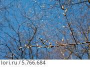 Купить «Набухшие почки деревьев на фоне голубого неба», эксклюзивное фото № 5766684, снято 29 марта 2014 г. (c) Svet / Фотобанк Лори