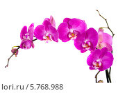 Розовая орхидея на белом фоне. Стоковое фото, фотограф Ольга Стрейкмане / Фотобанк Лори