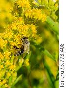Занятая пчела карабкается по стеблям желтых цветов. Стоковое фото, фотограф Юрий Селиванов / Фотобанк Лори