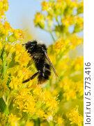 Пушистый шмель карабкается на душистые желтые цветы. Стоковое фото, фотограф Юрий Селиванов / Фотобанк Лори