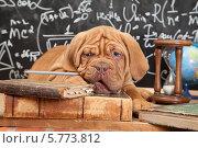 Купить «Умный щенок французского мастифа грызет карандаш», фото № 5773812, снято 23 марта 2014 г. (c) Алексей Кузнецов / Фотобанк Лори