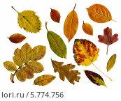 Осенние листья на белом фоне. Стоковое фото, фотограф Евгений Дробжев / Фотобанк Лори