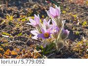 Купить «Сиреневые пушистые цветы прострела на фоне земли», эксклюзивное фото № 5779092, снято 5 апреля 2014 г. (c) Svet / Фотобанк Лори