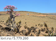Путешествие по Сокотре, бутылочное дерево (2014 год). Стоковое фото, фотограф Овчинникова Ирина / Фотобанк Лори