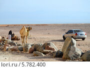 Бедуин с верблюдами и легковым автомобилем на пустынном берегу залива (2013 год). Редакционное фото, фотограф Ольга Коцюба / Фотобанк Лори